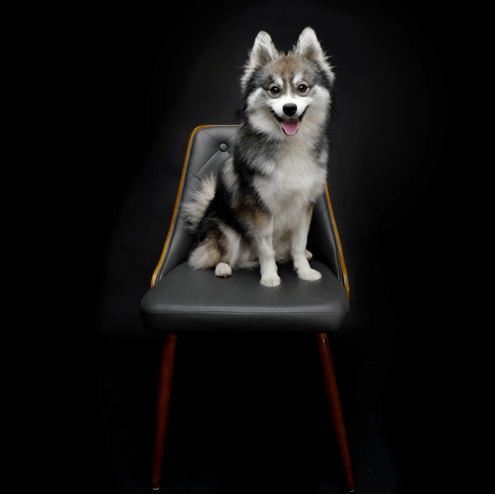 Full Grown pomeranian husky