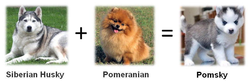 pomeranian husky price how much are husky goldenacresdogs com 8140
