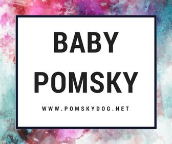 Baby Pomsky