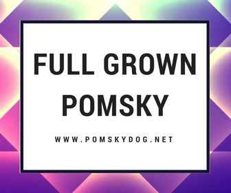 Full Grown Pomsky