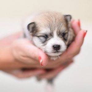 How much do Pomskies Cost