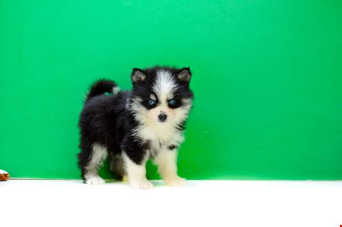 Image Result For Teacup Siberian Husky